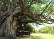 Pub-ul din interiorul unui copac Baobab in varsta de 6000 de ani